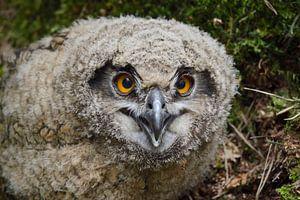 Eurasian Eagle Owl ( Bubo bubo ) young chick