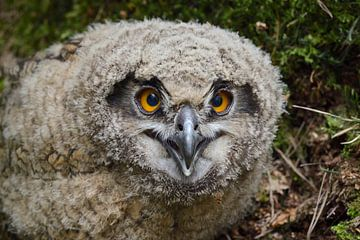 Uhu ( Bubo bubo ), Jungvogel, Ästling von wunderbare Erde