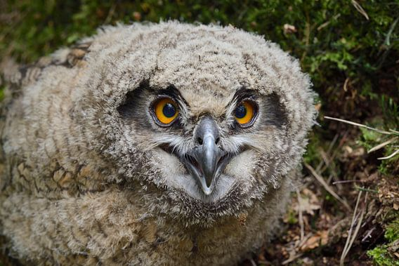 Eurasian Eagle Owl ( Bubo bubo ) young chick van wunderbare Erde