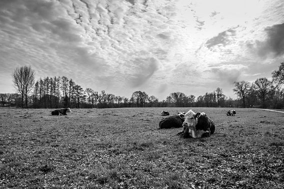 Koeien langs de Regge