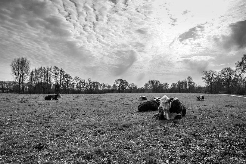 Koeien langs de Regge van Koop je Canvas