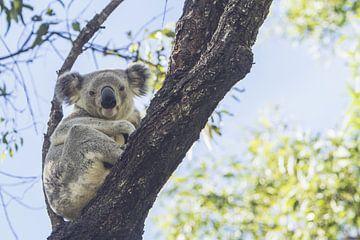 Koala rustend in de eucalyptus boom II van Geke Woudstra