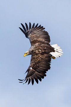 Seeadler im Flug von Denis Feiner