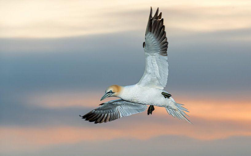 Een fascinerende zeevogel, de Jan van Gent van Gerry van Roosmalen