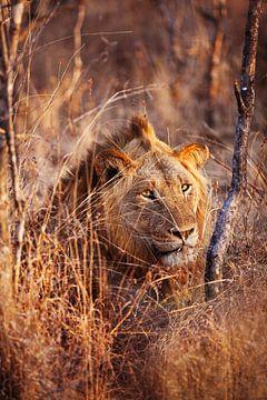 Löwe im kargen Gras Südafrikas bei Sonnenuntergang von Anne Jannes
