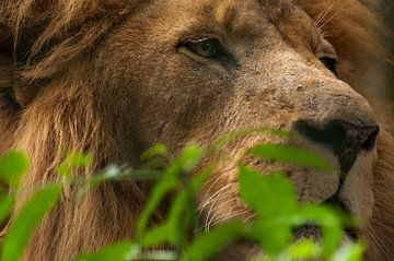 Lions : Parc animalier d'Amersfoort sur Loek Lobel