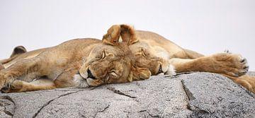 Schlafende Lions von Koolspix