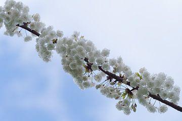 Weiße Blüte von Samantha van Leeuwen
