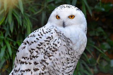 Favoriete dieren: Close-up van Sneeuwuil van Koolspix