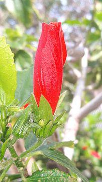 Rode bloem van Gerhilde Mulder