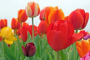 Prachtige tulpen van Judith Cool