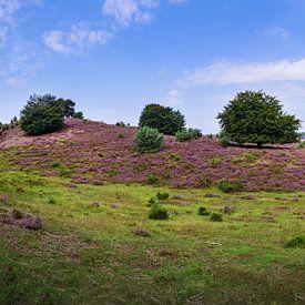 Posbank | veluwezoom | lande violette avec arbre au milieu sur Ricardo Bouman