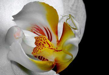 orchidee von Vera Kämpfe