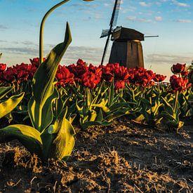 La tulipe hollandaise sur Albert Lamme