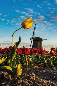 De typisch Nederlandse tulp van Albert Lamme