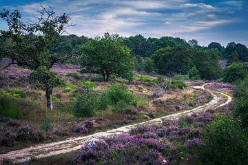 Pfad zwischen violetter Heide von Wim van D