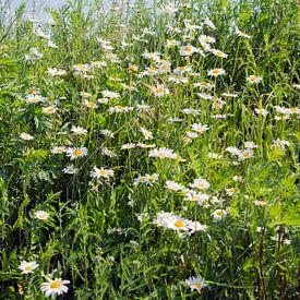 wild daisy in soring garde sur Compuinfoto .