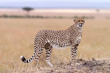 Cheetah van Angelika Stern