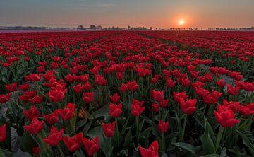 Tulpen sunset Goeree Overflakkee van Jolanda Wisselo