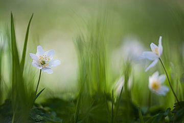 Wood anemone.  von Piet Haaksma
