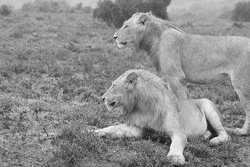 Zwei wilde afrikanische Löwen schwarz-weiß von Bobsphotography
