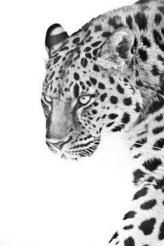 Blick eines Leoparden, der im Halbprofil vorwärts geht, Schwarz-Weiß-Foto, weißer Hintergrund von Michael Semenov