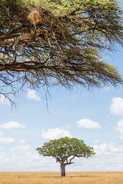 Luipaard luiert in de Serengeti  van Jeroen Middelbeek