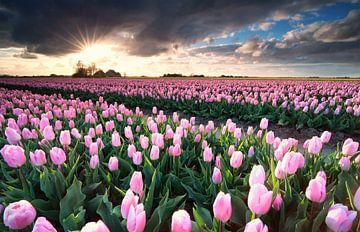 sunshine over pink tulip field van
