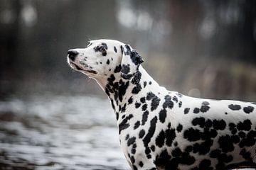 Porträt eines dalmatinischen Hundes am Wasser von Lotte van Alderen