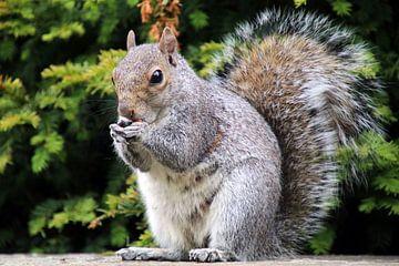Grijze eekhoorn van Edwin Butter
