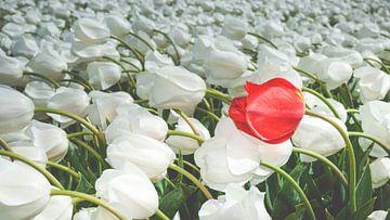 Veld met witte tulpen en een rode tulp van Fotografiecor .nl