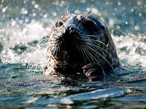 Zwemmende Zeehond