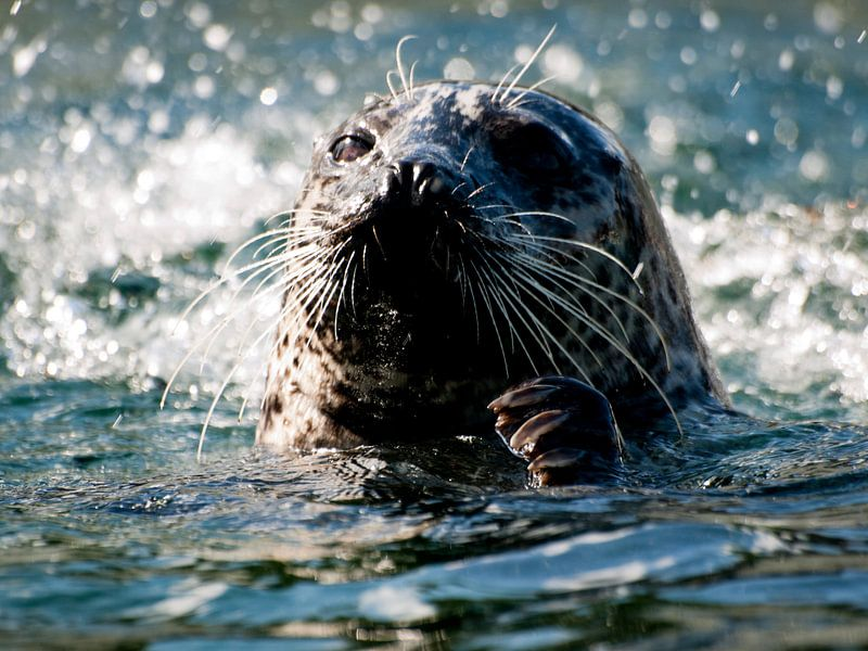 Zwemmende Zeehond van P van Beek