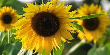 SonnenblumeSonnenblumen-Studien-001-7035 van Peter Morgenroth