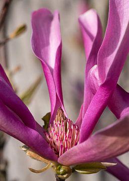 Magnolie (Magnolia liliiflora) von Alexander Ludwig