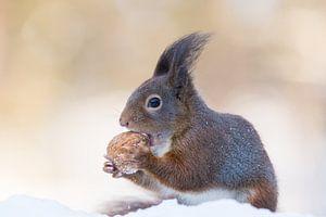 Eichhörnchen mit Walnuss im Schnee