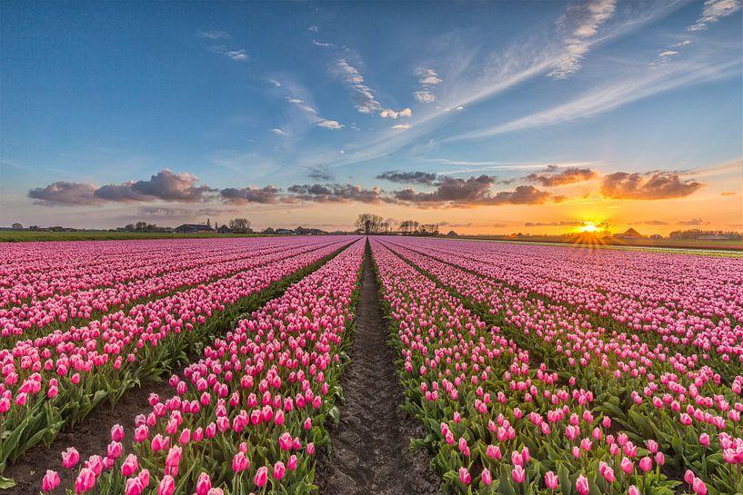 Sunsetting tulips van Costas Ganasos