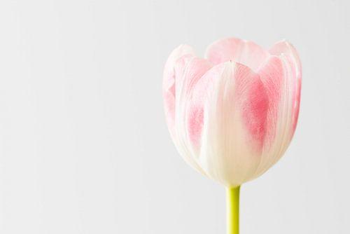 Wit met roze tulp van