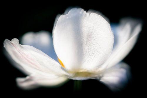 Witte Bloem...