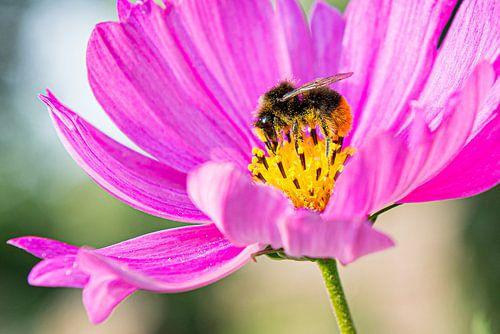 Bij in een roze bloem met gele stampers