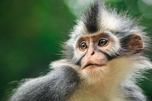 Thomaslangoer - Sumatra, Indonesië von Martijn Smeets