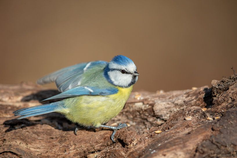 Mésange bleue (Cyanistes caeruleus) sur Dirk Rüter