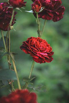 Rode roos van Isa V
