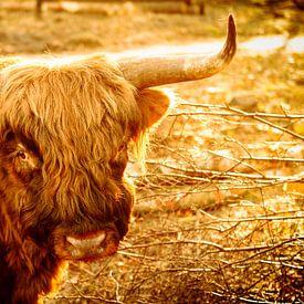 Schotse Hooglander in het late gouden zonlicht. van Fotografie Arthur van Leeuwen