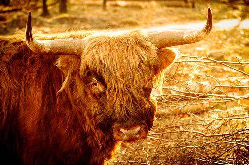 Schotse Hooglander in het late gouden zonlicht. van