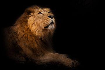La curiosité dans la nuit. Il renifle sa tête de profil. Un lion mâle puissant à la crinière chic se sur Michael Semenov