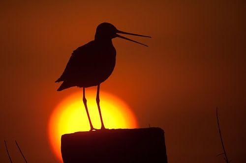 Grutto silhouet voor de opkomende zon van