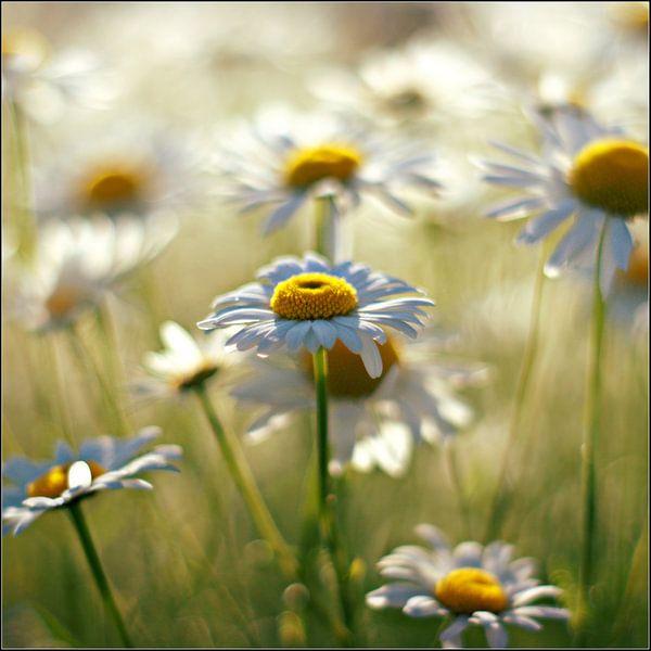 a daisy symphony