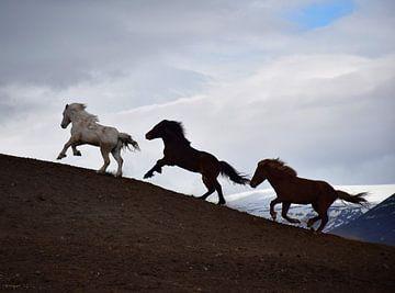 Rennende IJslandse paarden