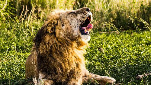 Gapende leeuw van Stijn Cleynhens